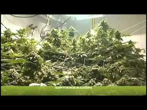 yt-1594-Cannabis-Indoor-teil-3-23-Deutsch-hanf-anbau