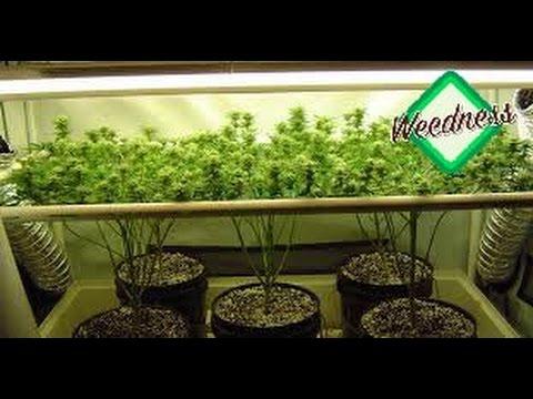 yt-1609-Cannabis-Anbau-Zucht-Indoor-Scrog-oder-Sog-Teil-1522