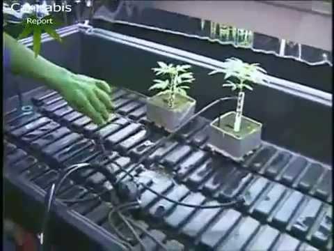yt-1611-Mr.-Green-Growing-Cannabis-Deutsch-Teil-12-Swiss-Herbs.com_