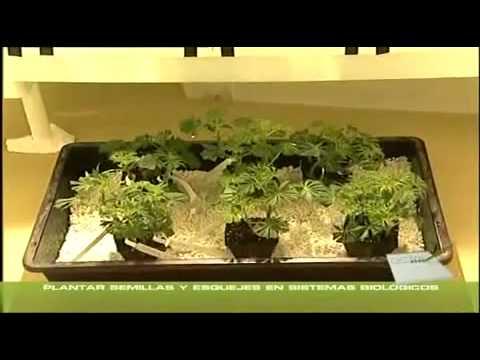yt-1623-Cannabis-Grow-9-StecklingeUmtopfen