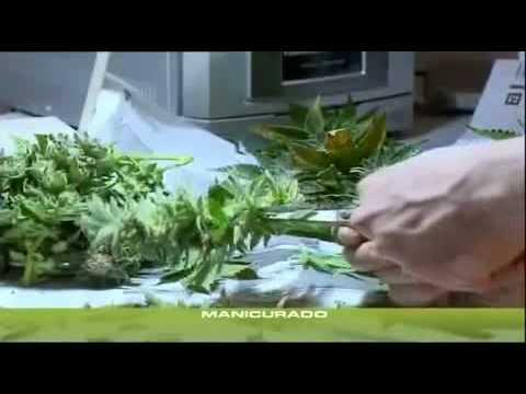 yt-1625-Cannabis-Grow-19-ErnteTrocknungLagerung