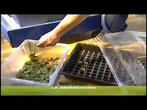 yt-1631-Cannabis-Grow-5-Keimen-der-SamenAnzucht