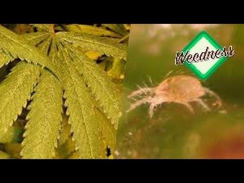 yt-1637-Cannabis-Anbau-Zucht-Indoor-Pflanzen-Plagen-Teil-1622