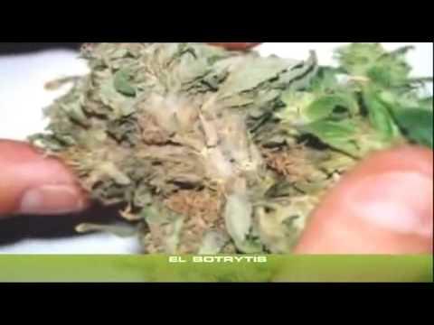 yt-1645-Cannabis-Grow-18-PilzeSchdlinge
