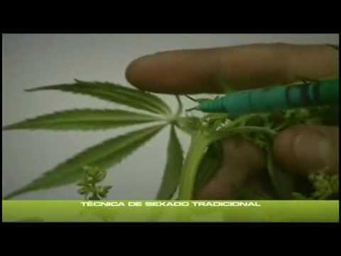 yt-1651-Cannabis-Grow-6-Geschlechts-Bestimmung