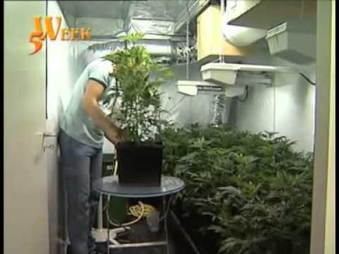 yt-1653-Culture-cannabis-indoor-part-3