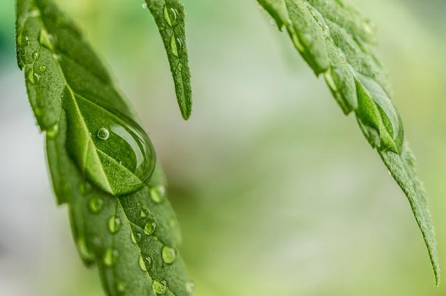 Autoflowering - Automatik Hanfpflanzen