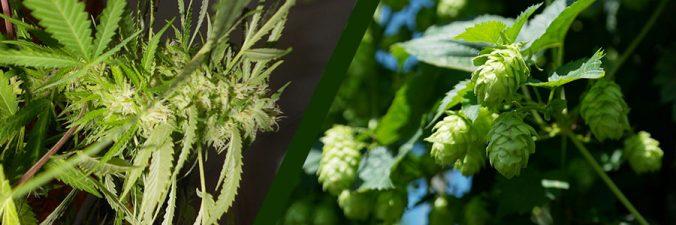 Hopfen und Cannabis