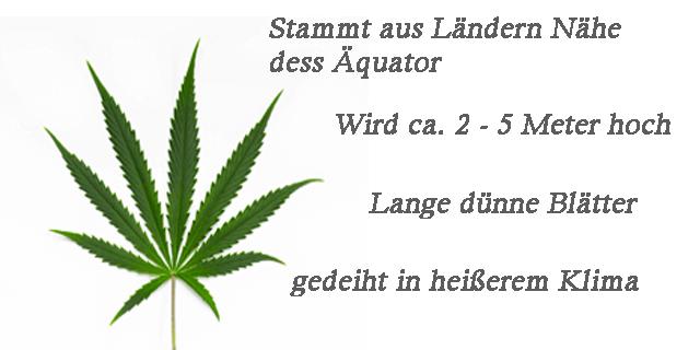 Cannabis-Sativa-eigenschaften
